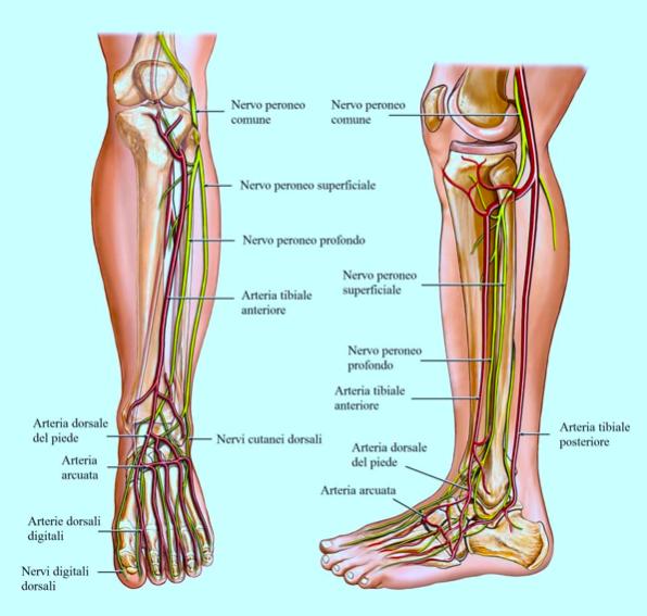 dolore gamba patologie dei nervi