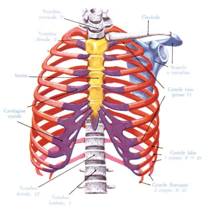 anatomia-costole
