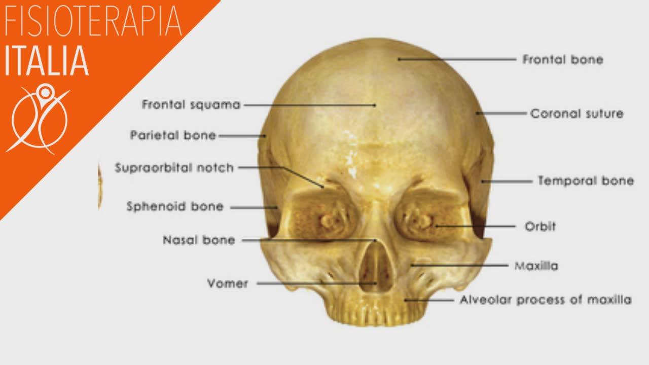 anatomia del cranio e le sue ossa