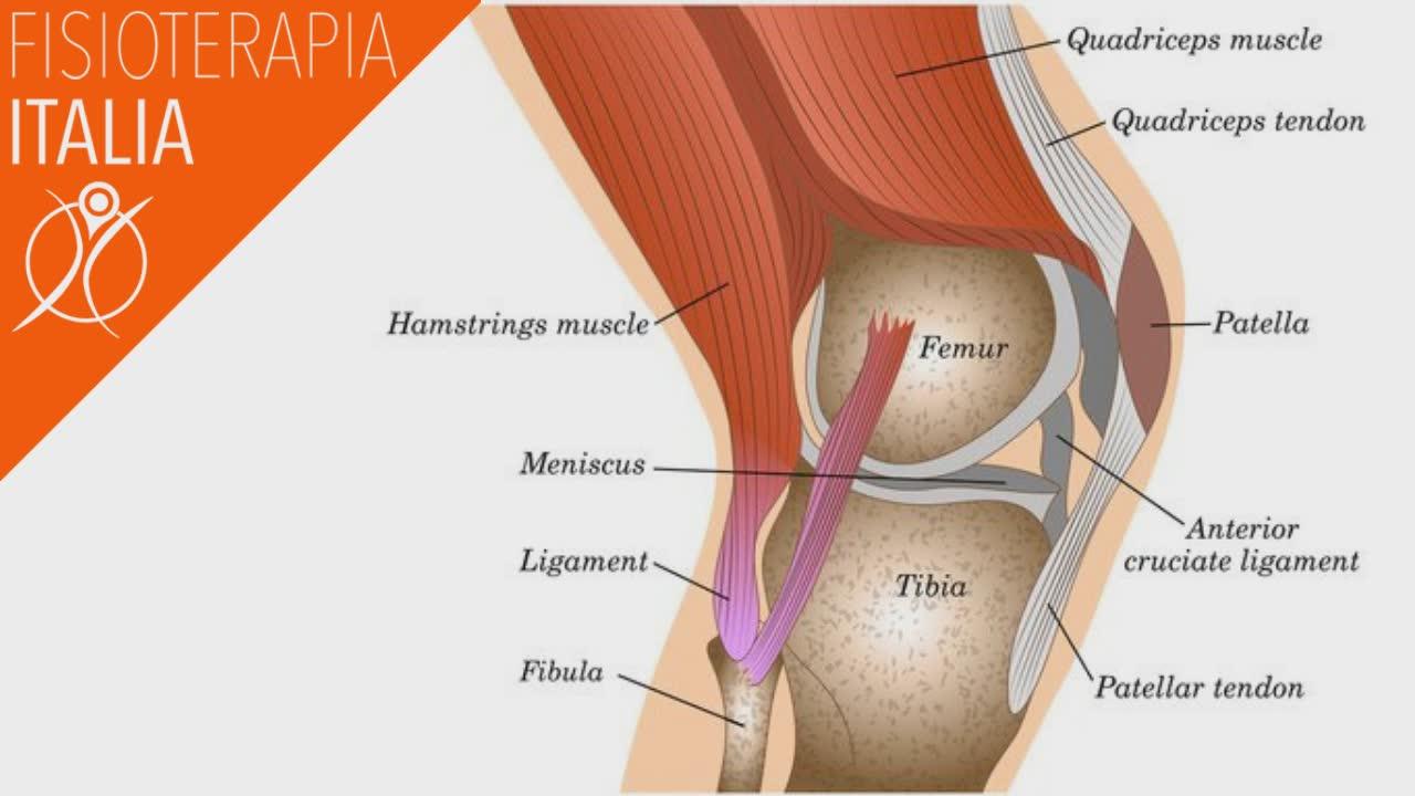 anatomia del ginocchio menischi e legamenti