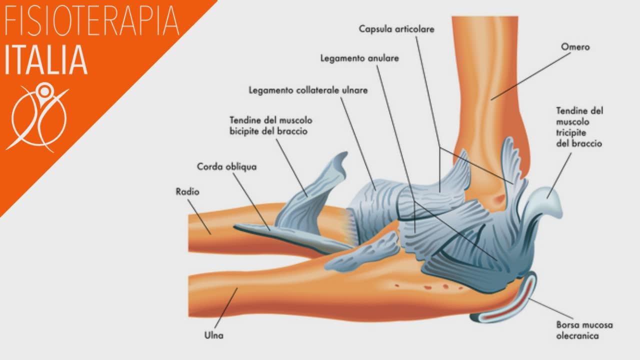 anatomia del gomito e sue strutture