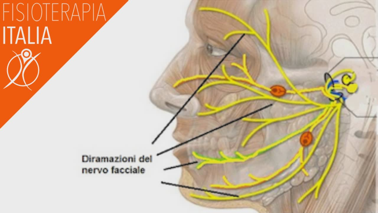 anatomia del nervo facciale