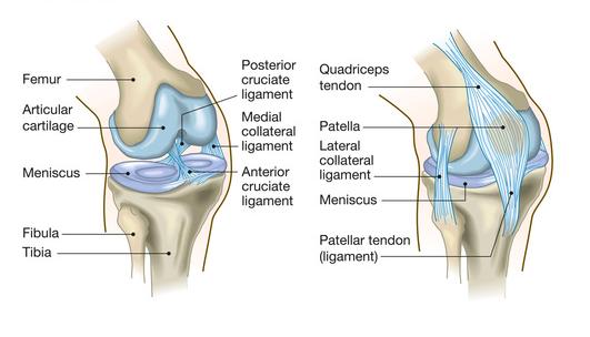 anatomia ginocchio sano