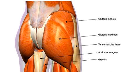anatomia muscolare anca