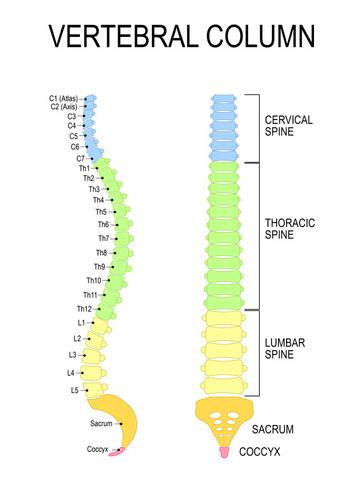 anatomia colonna vertebrale normale