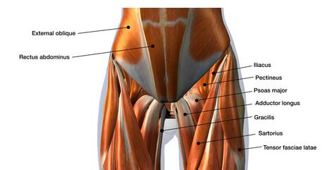 anatomia muscolare del pube