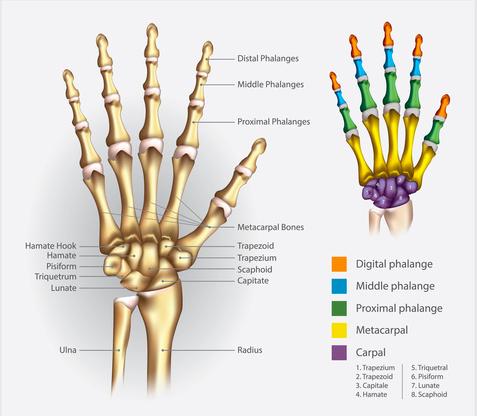 anatomia polso
