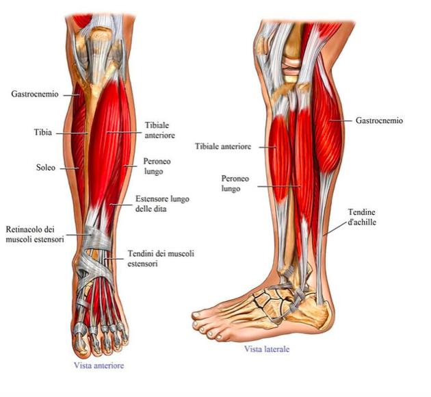 dolore gambe patologie muscoli e tendini