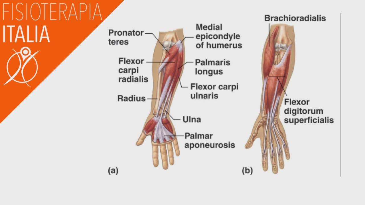 gomito i muscoli