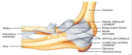 il gomito e i suoi tendini