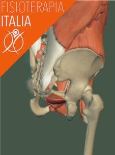 muscoli del bacino