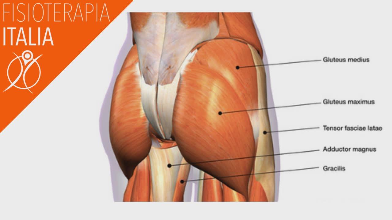 muscoli dell'anca