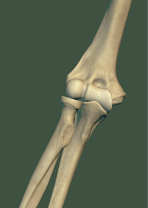 ossi del gomito