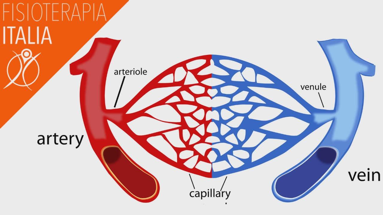 sistema arterioso e venoso