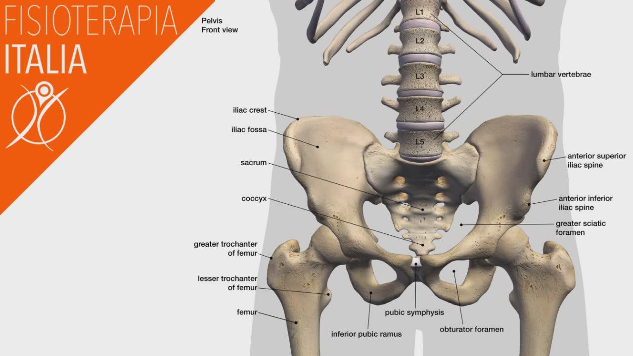 anatomia anca