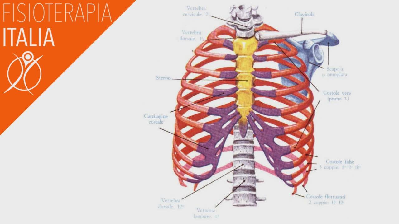 anatomia costale