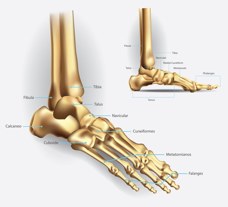 anatomia del piede e patologie associate