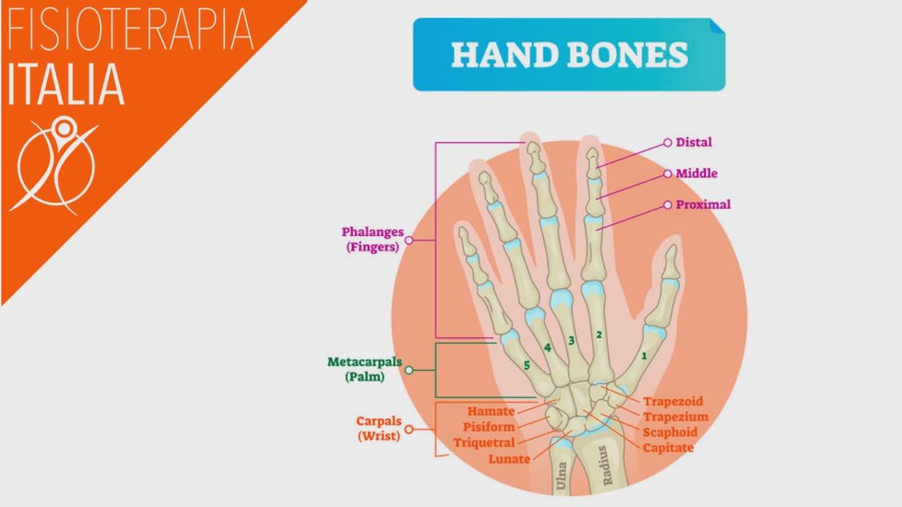 anatomia della mano