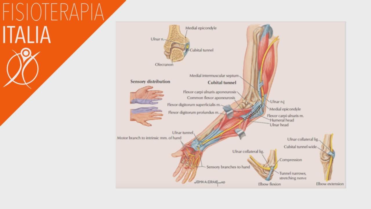 anatomia gomito e nervi ulnari