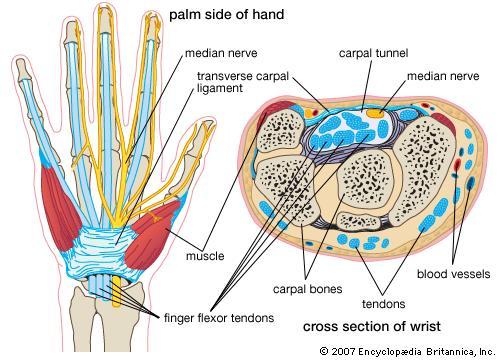 anatomia del polso