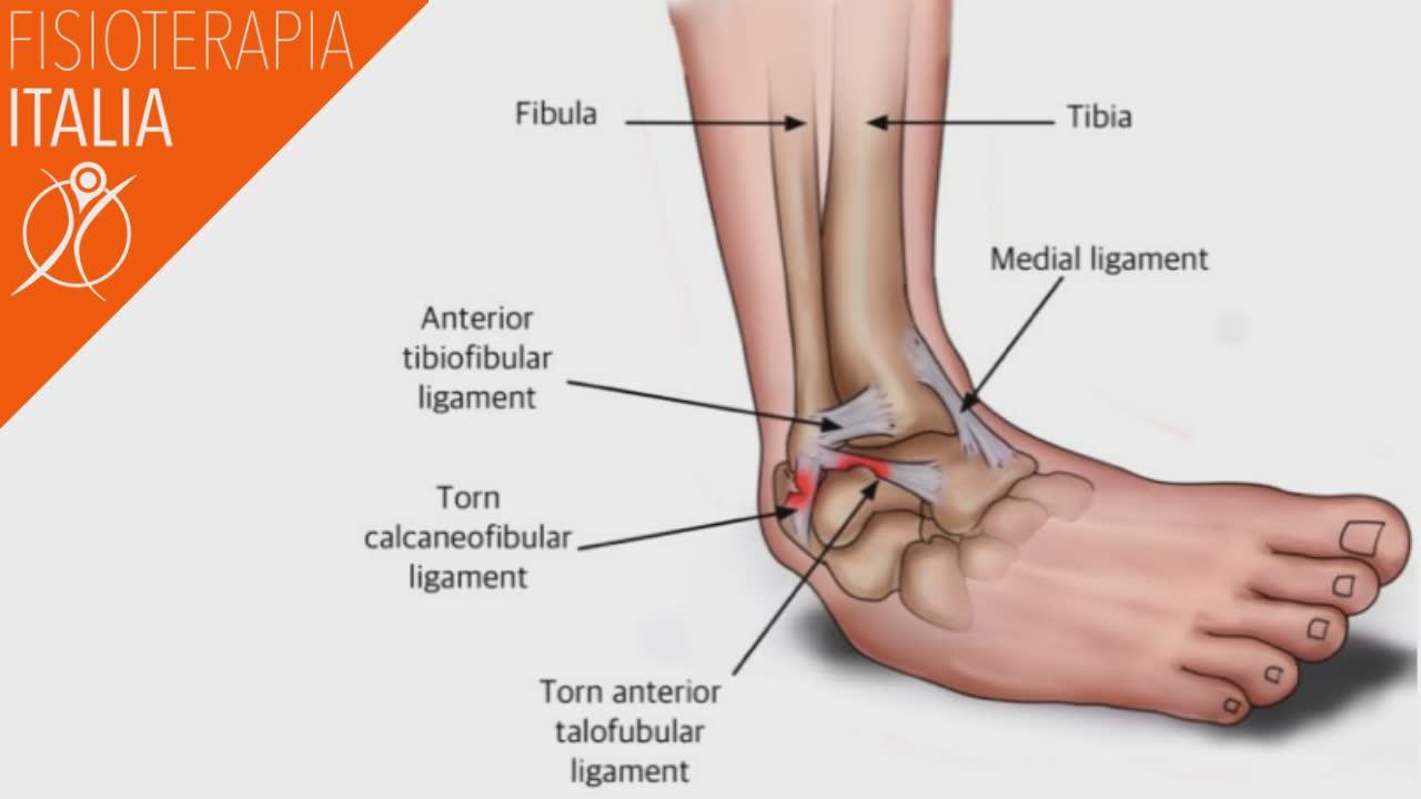 caviglia anatomia e struttura