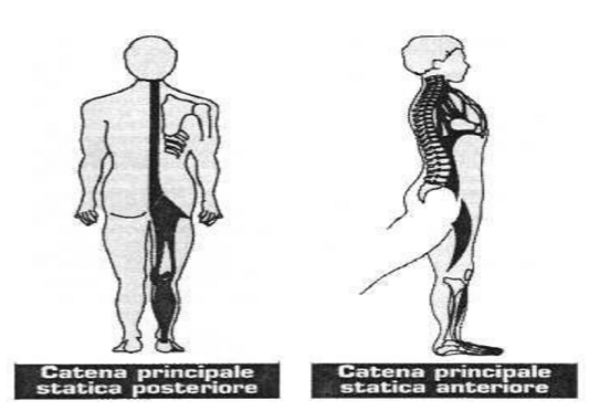 rieducazione posturale e catene muscolari